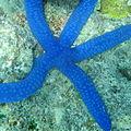 Linckia laevigata, Upolu Reef.jpeg