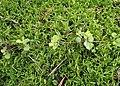 Linnaea borealis kz02.jpg