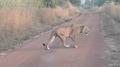 Lion4.png
