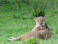 Lion (3075524743).jpg