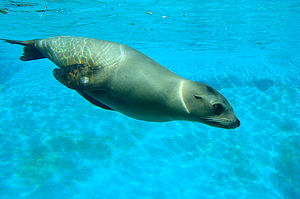 Fauna of California - The California sea lion ranges along all of the western coast and islands of California.