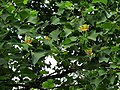Liriodendron tulipifera Syrets2.JPG