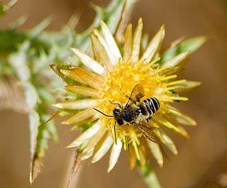 <i>Lithurgus</i> Genus of bees