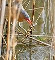 Little Bittern (Ixobrychus minutus) catch a fish ... (45307741775).jpg