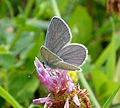 Little Blue. Cupido Minimus (16035802980).jpg