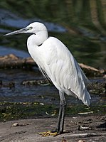 Little Egret, Egretta garzetta at Rietvlei Nature Reserve, Gauteng, South Africa (22370696077).jpg