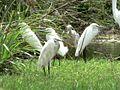 Little Egret with Snowy Egrets, Barbados (12591304244).jpg