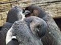 Little penguins 03.jpg
