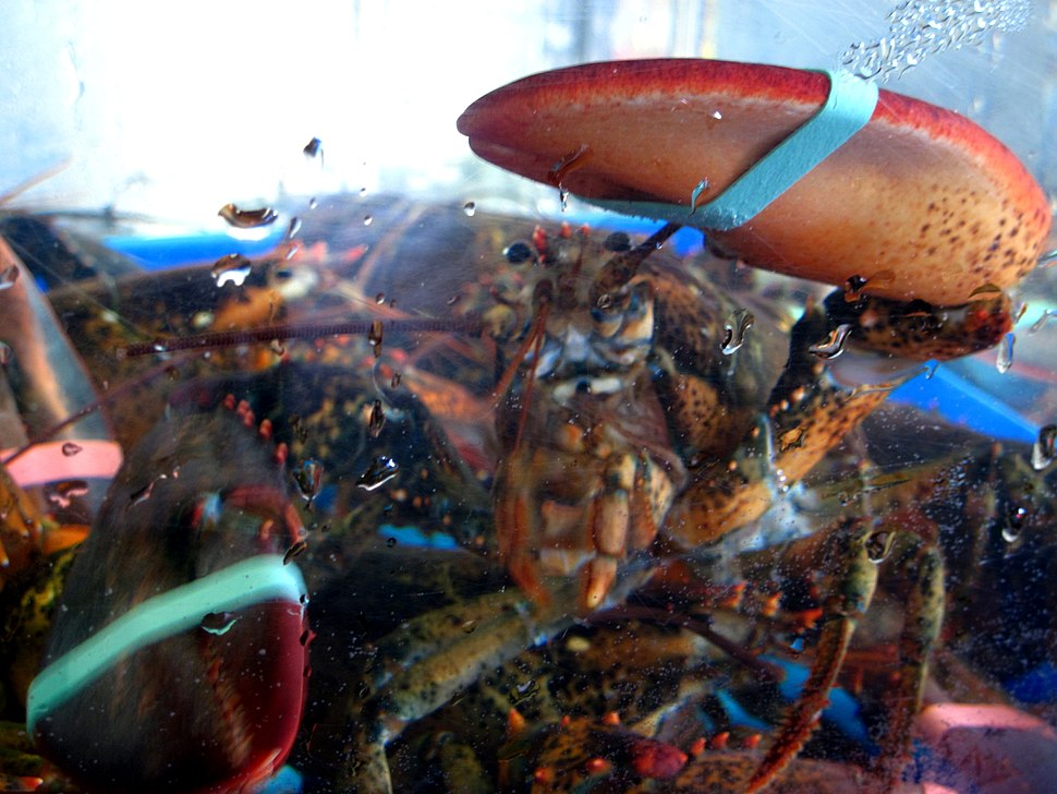Lobster for sale in Connecticut in salt water tank