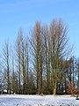 Locatie, De Famberhorst. Zwarte populieren (Populus nigra) 04.jpg
