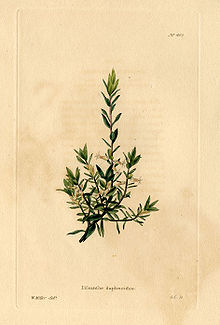 A colour drawing of a small heather-like plant with yellow flowers