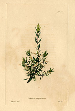 Loddiges 466 Lissanthe daphnoides drawn by W Miller.jpg