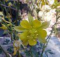 Long-spurred Columbine - Flickr - gailhampshire (1).jpg