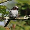 Long-tailed tit (Aegithalos caudatus) juvenile.jpg