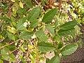 Lonicera fragrantissima DSCF5403.JPG