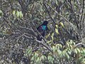 Lophorina superba -Papua New Guinea-4.jpg