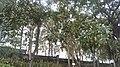 Lotus-Flowered Magnolia Path.jpg