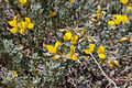 Lotus creticus (3).JPG