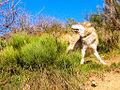Loups de Mongolie (Canis lupus chanco) 1.JPG