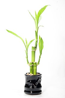 lucky bamboo jpg