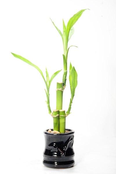 Feng shui bambú, curas, remedios,cuando usarlo, beneficios