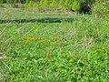Lutik flowers.JPG