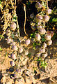 Lycopersicon chilense, fruit (8690978263).jpg