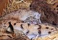 Lynx 9.jpg