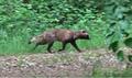 Mårhund fra Sdr. Stenderup Maj 2016 - marderhund - raccoondog.png