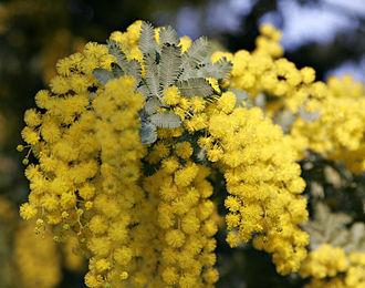 Fabaceae - Image: MG 7005