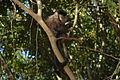 Macaco em Tibaji 190708 REFON 6.JPG