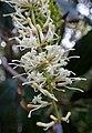 Macadamia integrifolia kz3.JPG