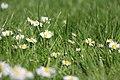 Macro of daisies 02.jpg