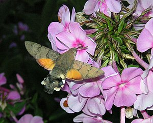Hummingbird hawk-moth - The wing action is frozen in this photo by using electronic flash. This picture was shot in Hanko, Finland, latitude 60°N, on August 19, 2006, thus far north of the typical residential distribution