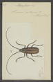 Macrotoma - Print - Iconographia Zoologica - Special Collections University of Amsterdam - UBAINV0274 032 04 0051.tif