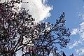 Magnolia (Magnolia) (14).jpg