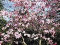 Magnolia Tree (7051803419).jpg