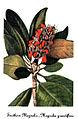 Magnolia grandiflora, by Mary Vaux Walcott.jpg