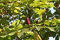 Magnolia hypoleuca ×tripetala JPG1Ba.jpg