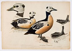 Magnus von Wright - Steller's Eider, Male - A II 1022-23 - Finnish National Gallery.jpg