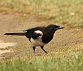 Magpie in Madrid (Spain) 111.jpg