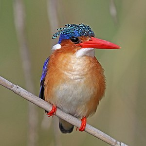 Malachite kingfisher (Corythornis cristatus cristatus) in Namibia