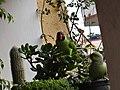 Male Slaty-Headed and Rose-Ringed Parakeets.jpg