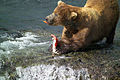 Male brown bear eating fat rich salmon skin.jpg