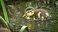 Mallard duckling (49857649113).jpg