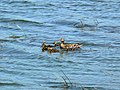 Mallard female and ducklings 5.29.2010.jpg