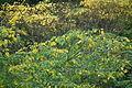 Mallotus japonicus 赤芽槲、赤芽柏、アカメガシワ DSCF2659.JPG