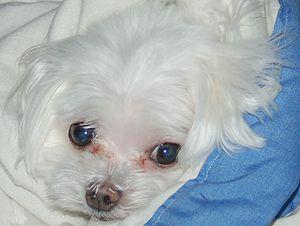 Maltese Anjing Wikipedia Bahasa Indonesia Ensiklopedia Bebas