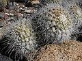 Mammillariacelsiana.jpg