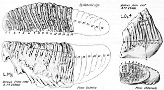 Woolly mammoth - 1930s illustration of the lectotype molars by Henry Fairfield Osborn: The left one is now lost.